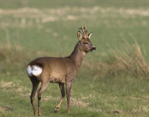 Roe Deer Pictures