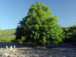 Sabino Tree