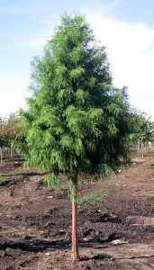 Shawnee Brave Bald Cypress