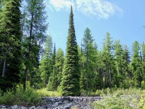 Subalpine Fir Pictures