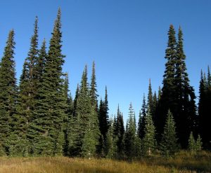 Subalpine Fir Tree