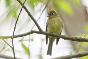 Yellow Bellied Flycatcher Bird