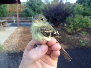 Yellow bellied Flycatcher Juvenile