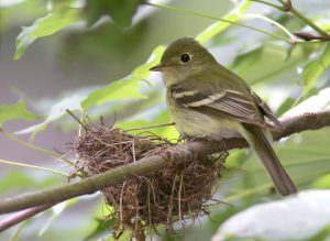 Yellow bellied Flycatcher Nest
