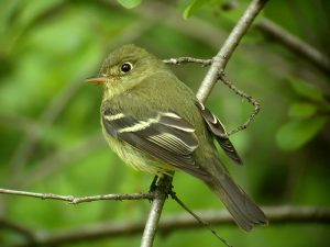 Yellow Bellied Flycatcher Photo