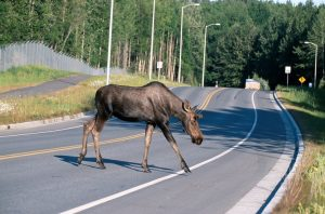 Alaska Moose Female