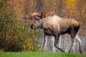 Alaska Moose Pictures