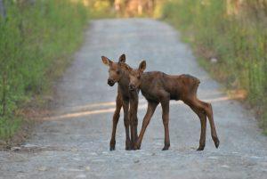 Alaska Baby Moose