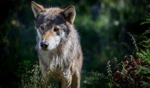Eurasian Gray Wolf