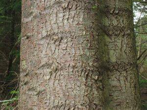 Grand Fir Bark