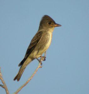 Olive Sided Flycatcher Bird