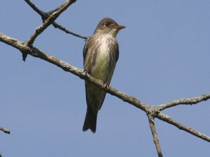 Olive Sided Flycatcher Images