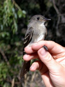Olive Sided Flycatcher Juvenile