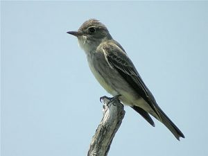 Olive Sided Flycatcher Photos