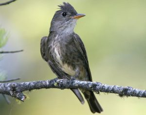 Olive Sided Flycatcher Pictures