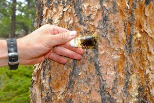 Pine Beetle Pictures
