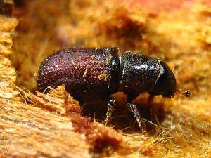 Pine Borer Beetles