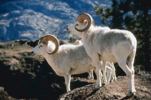 Alaskan Dall Sheep