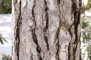 Austrian Pine Bark