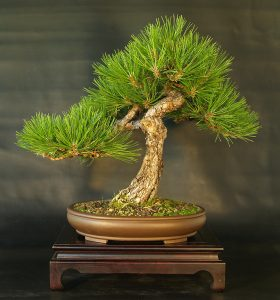 Austrian Pine Bonsai
