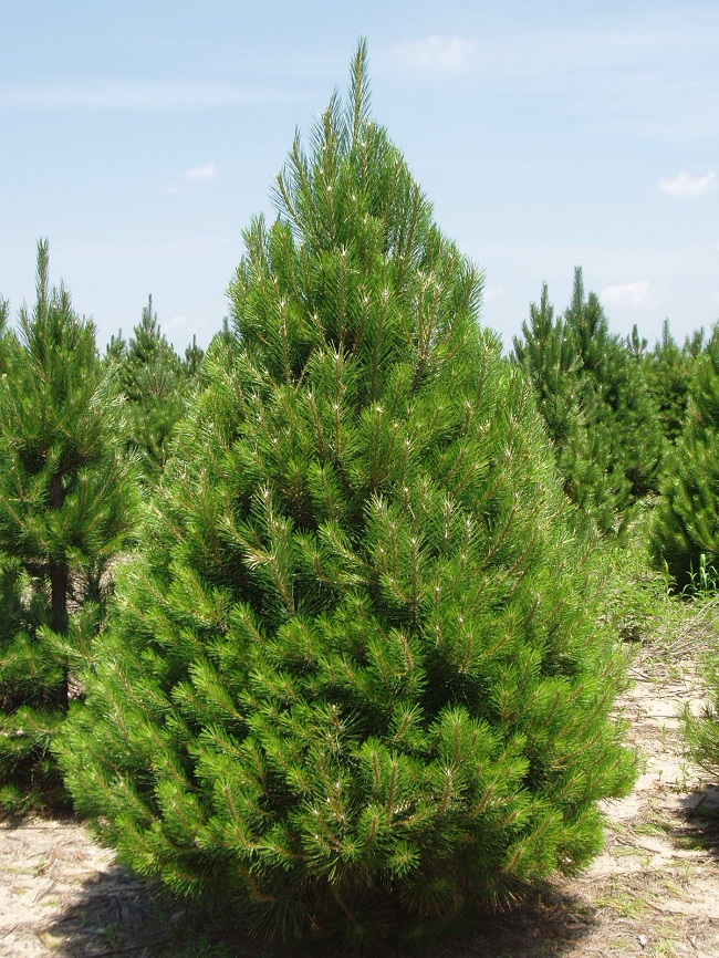 Austrian Pine Black Pine Tree Diseases Growth Rate Facts