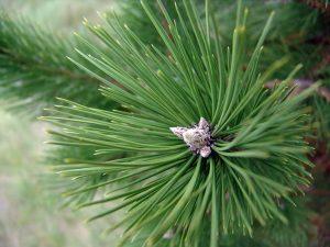 Austrian Pine Needles