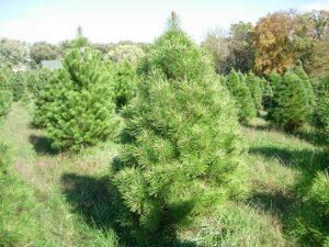 Austrian Pines