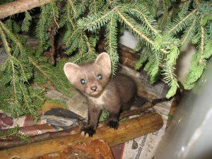 Baby Pine Marten