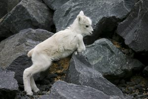 Dall Sheep Baby