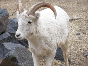 Dall Sheep Female
