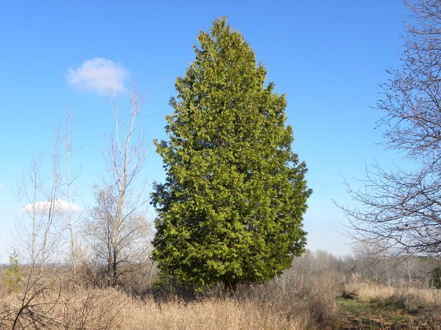 Northern White Cedar American Arborvitae Tree Facts