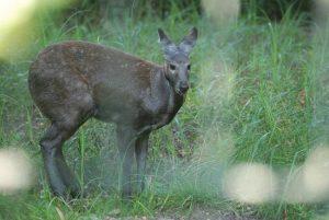Male Siberian Musk Deer