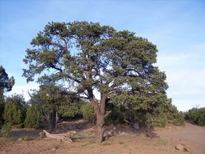 New Mexico State Tree