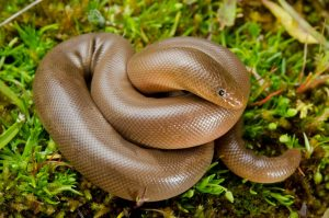 Northern Rubber Boa