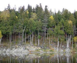 Northern White Cedar