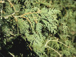 Northern White Cedar Leaf