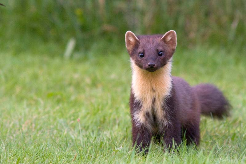 Pine Marten (European Pine Marten) Facts and Pictures