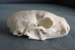 Pine Marten Skull