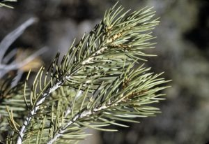 Pinyon Pine Needles