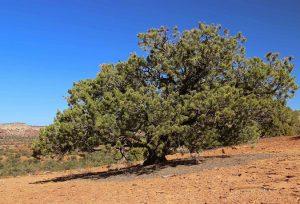 Pinyon Pine Pictures