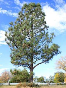 Ponderosa Pine Pictures