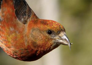 Red Crossbill Beak