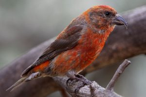 Red Crossbill Bird
