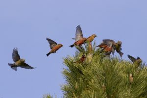 Red Crossbill Flying