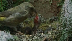 Red Crossbill Nest