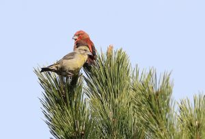 Red Crossbill Pair