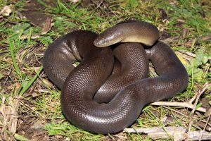 Rubber Boa Pictures