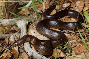 Rubber Boa Snake