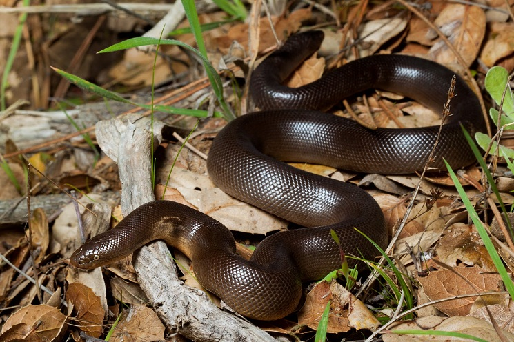 Rubber Boa Snake Northern Rubber Boa Habitat Diet Facts