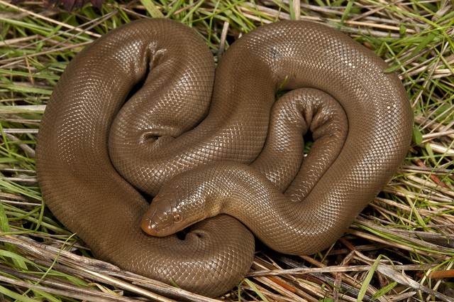 Rubber Boa Snake Northern Rubber Boa Habitat Diet